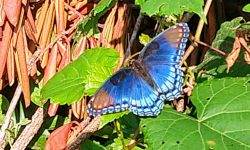 A blue butterfly brightened up daily drudgery.