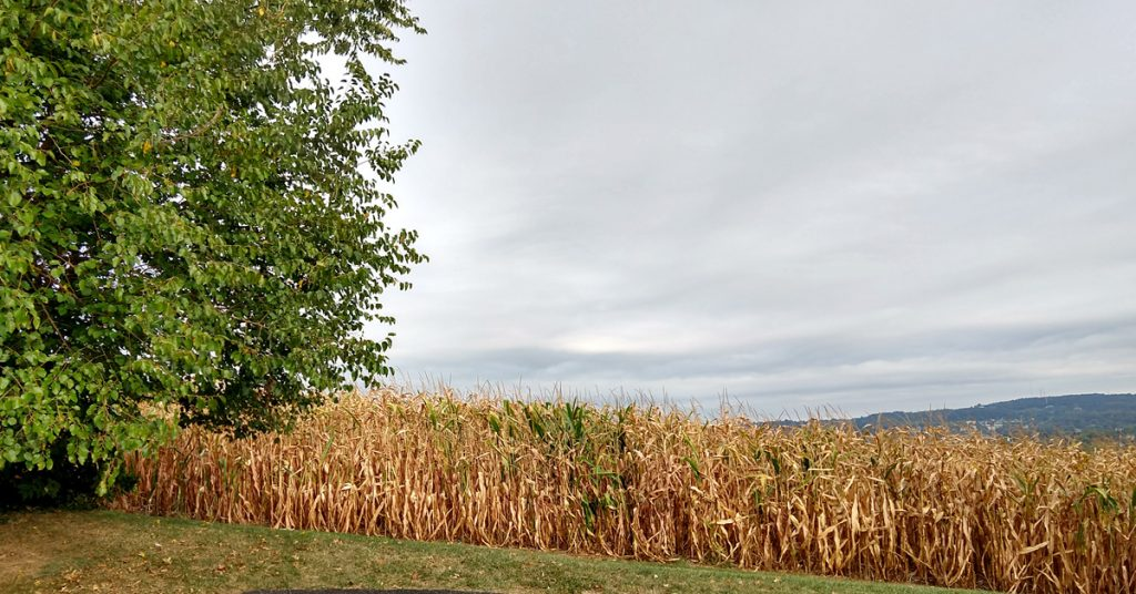 A cornfield under a cloudy sky at the beginning of fall.